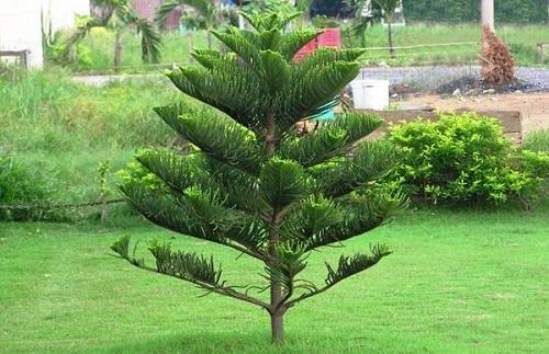 Phong thủy nhà ở: cây không nên trồng trước nhà