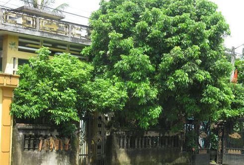 trồng cây tán rộng trước nhà